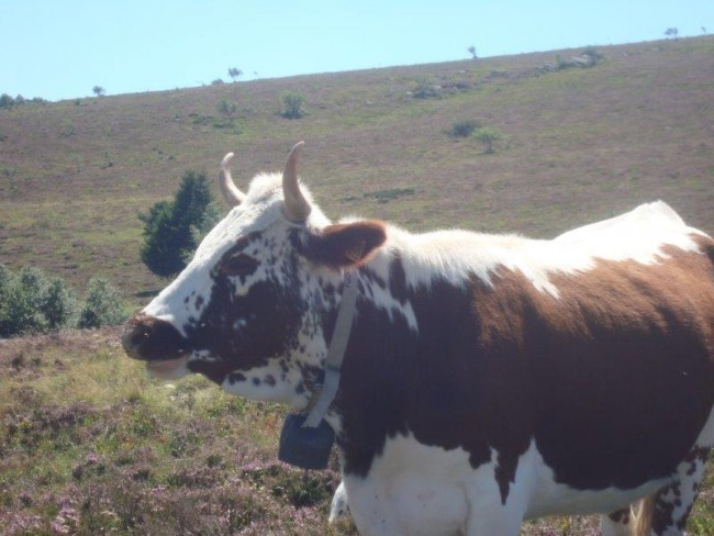 Vache Ferrandaise